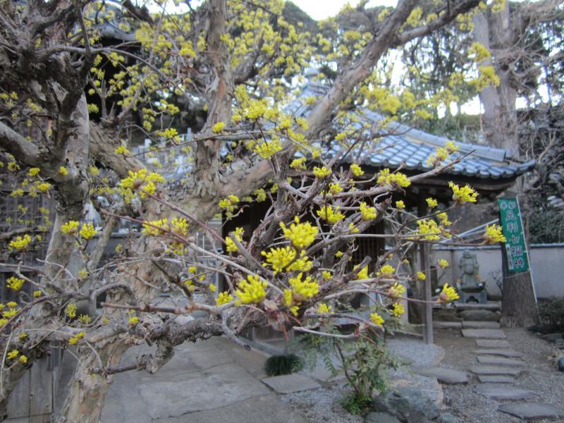 春彼岸山茱萸